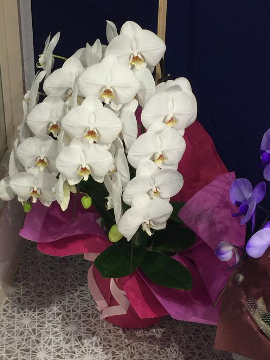 白い胡蝶蘭の花の写真